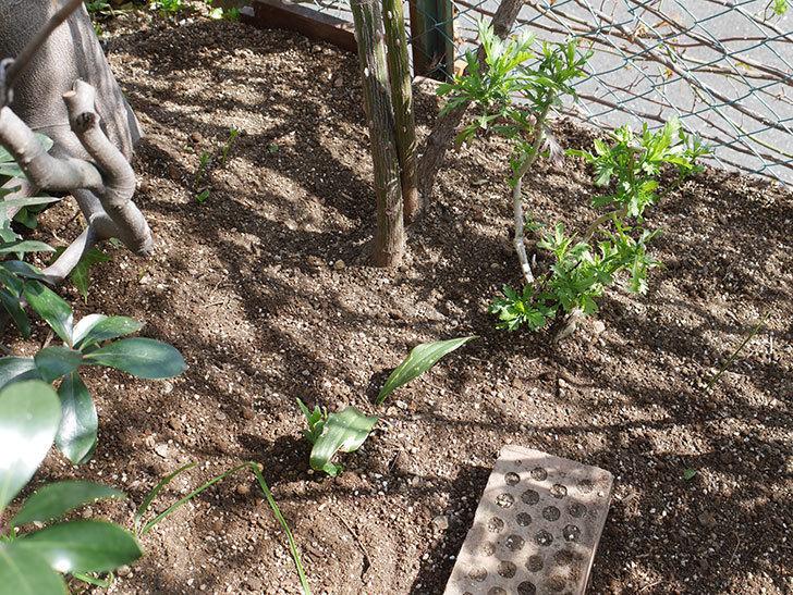 つるゴールドバニー(Gold Bunny Climbing)に寒肥を施した。ツルバラ。2021年-017.jpg
