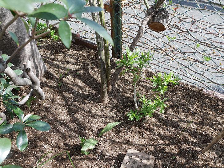 つるゴールドバニー(Gold Bunny Climbing)に寒肥を施した。ツルバラ。2021年-018.jpg