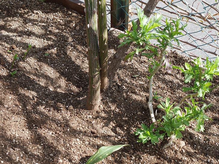 つるゴールドバニー(Gold Bunny Climbing)に寒肥を施した。ツルバラ。2021年-019.jpg