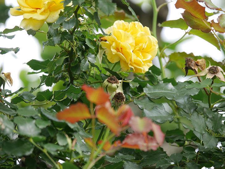つるゴールドバニー(Gold Bunny Climbing)の2番花が咲いた。ツルバラ。2021年-001.jpg
