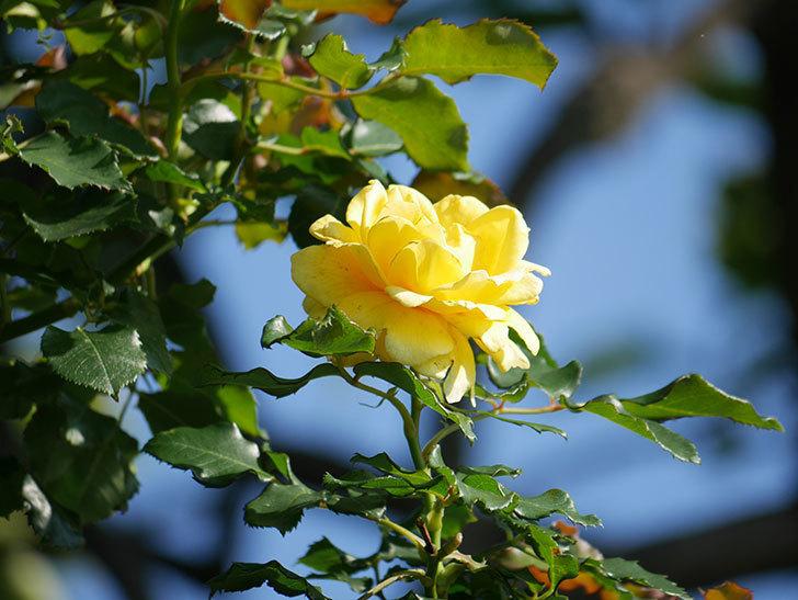 つるゴールドバニー(Gold Bunny Climbing)の2番花が咲いた。ツルバラ。2021年-003.jpg