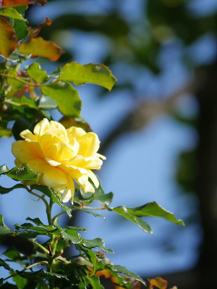 つるゴールドバニー(Gold Bunny Climbing)の2番花が咲いた。ツルバラ。2021年-004.jpg