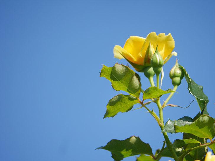 つるゴールドバニー(Gold Bunny Climbing)の2番花が咲いた。ツルバラ。2021年-005.jpg