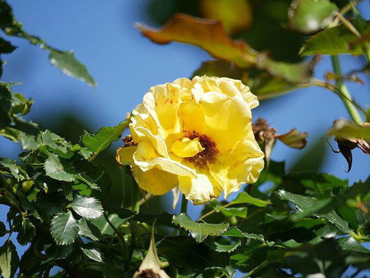 つるゴールドバニー(Gold Bunny Climbing)の2番花が咲いた。ツルバラ。2021年-006.jpg