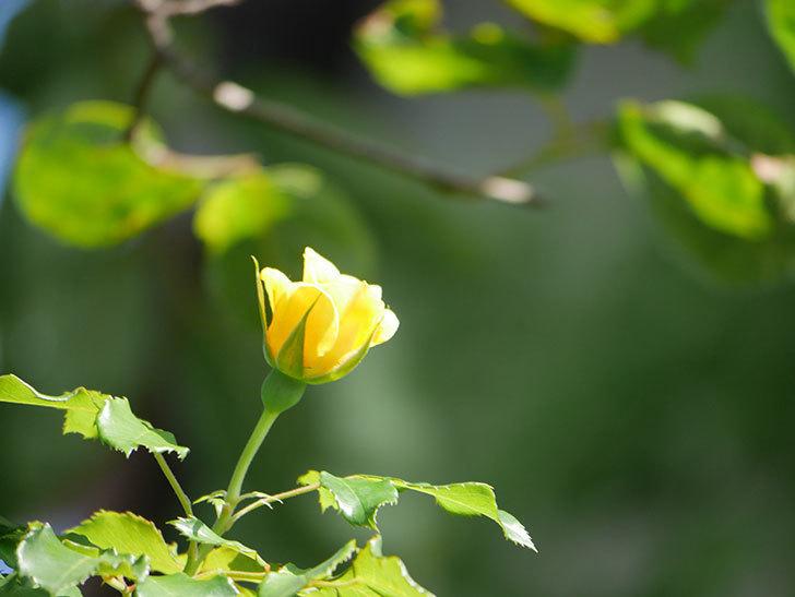 つるゴールドバニー(Gold Bunny Climbing)の2番花が咲いた。ツルバラ。2021年-007.jpg