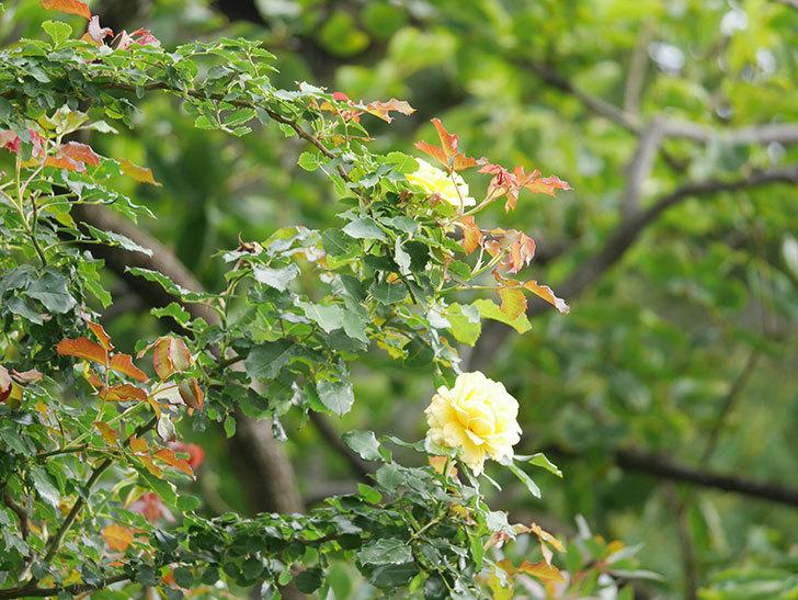 つるゴールドバニー(Gold Bunny Climbing)の2番花が咲いた。ツルバラ。2021年-008.jpg
