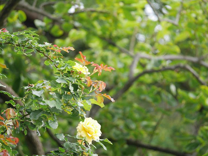 つるゴールドバニー(Gold Bunny Climbing)の2番花が咲いた。ツルバラ。2021年-009.jpg