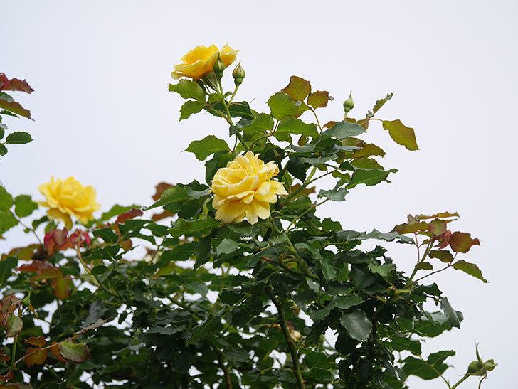 つるゴールドバニー(Gold Bunny Climbing)の2番花が咲いた。ツルバラ。2021年-010.jpg