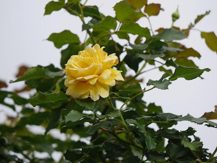 つるゴールドバニー(Gold Bunny Climbing)の2番花が咲いた。ツルバラ。2021年-011.jpg