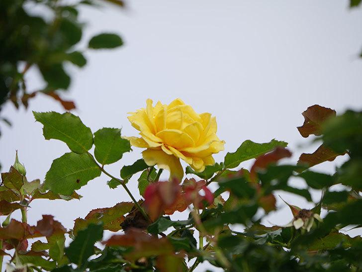 つるゴールドバニー(Gold Bunny Climbing)の2番花が咲いた。ツルバラ。2021年-012.jpg