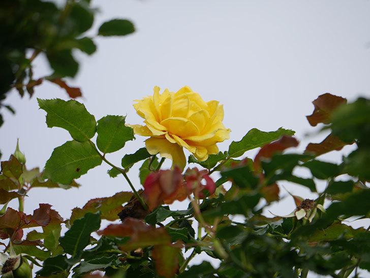 つるゴールドバニー(Gold Bunny Climbing)の2番花が咲いた。ツルバラ。2021年-013.jpg