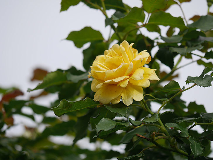 つるゴールドバニー(Gold Bunny Climbing)の2番花が咲いた。ツルバラ。2021年-014.jpg