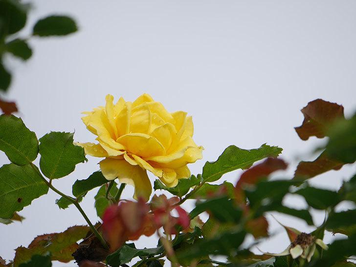 つるゴールドバニー(Gold Bunny Climbing)の2番花が咲いた。ツルバラ。2021年-015.jpg