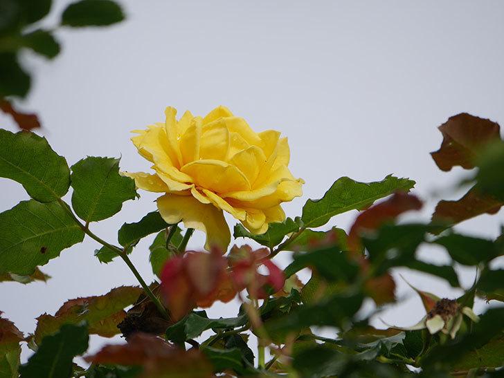 つるゴールドバニー(Gold Bunny Climbing)の2番花が咲いた。ツルバラ。2021年-016.jpg