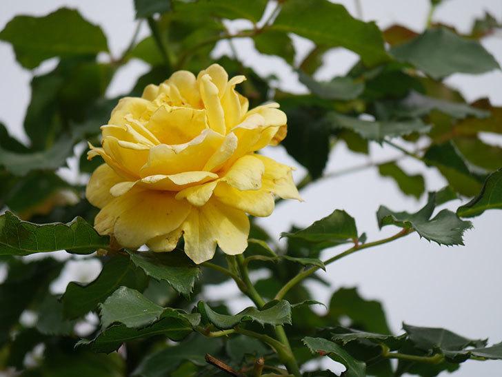 つるゴールドバニー(Gold Bunny Climbing)の2番花が咲いた。ツルバラ。2021年-017.jpg