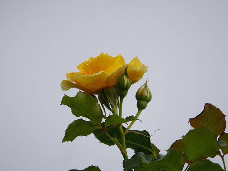 つるゴールドバニー(Gold Bunny Climbing)の2番花が咲いた。ツルバラ。2021年-018.jpg