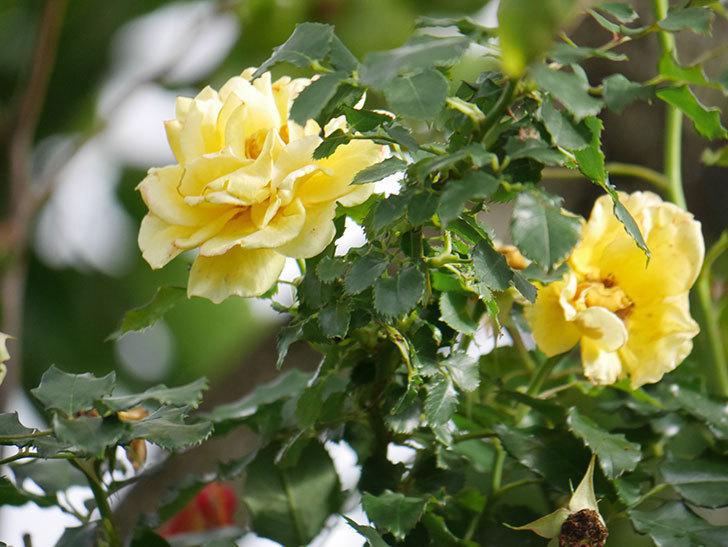 つるゴールドバニー(Gold Bunny Climbing)の2番花が咲いた。ツルバラ。2021年-019.jpg
