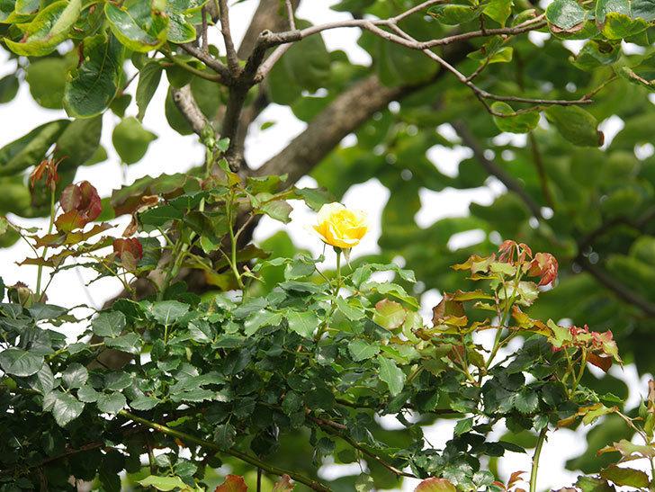 つるゴールドバニー(Gold Bunny Climbing)の2番花が咲いた。ツルバラ。2021年-020.jpg