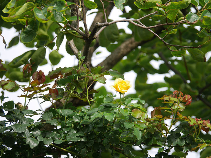 つるゴールドバニー(Gold Bunny Climbing)の2番花が咲いた。ツルバラ。2021年-021.jpg