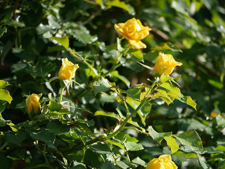 つるゴールドバニー(Gold Bunny Climbing)の2番花が増えてきた。ツルバラ。2020年-004.jpg
