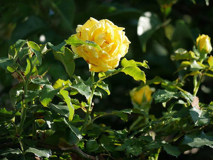 つるゴールドバニー(Gold Bunny Climbing)の2番花が増えてきた。ツルバラ。2020年-005.jpg