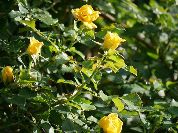 つるゴールドバニー(Gold Bunny Climbing)の2番花が増えてきた。ツルバラ。2020年-006.jpg