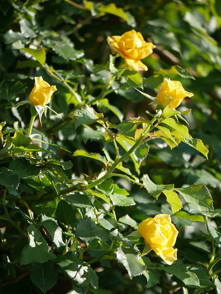 つるゴールドバニー(Gold Bunny Climbing)の2番花が増えてきた。ツルバラ。2020年-007.jpg