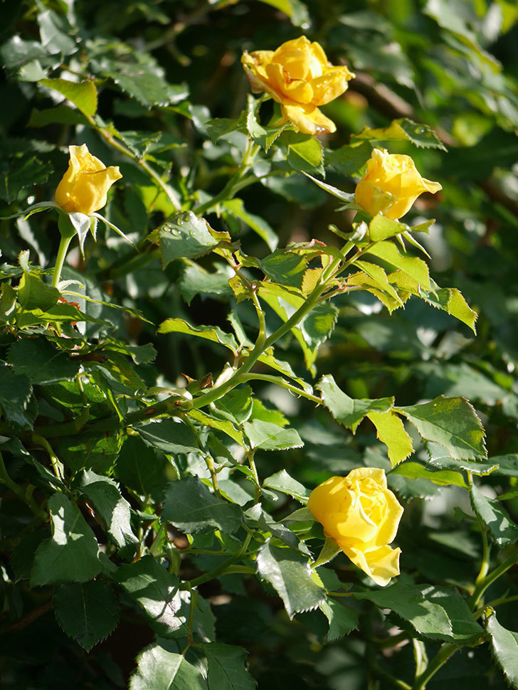 つるゴールドバニー(Gold Bunny Climbing)の2番花が増えてきた。ツルバラ。2020年-008.jpg