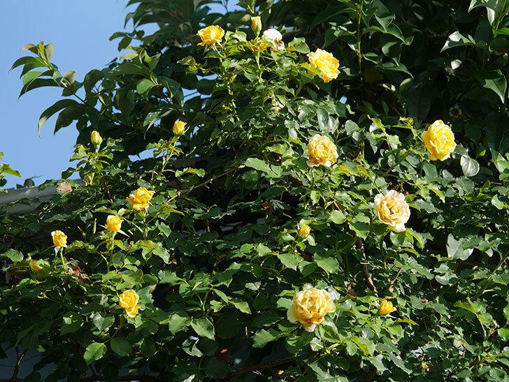 つるゴールドバニー(Gold Bunny Climbing)の2番花が増えてきた。ツルバラ。2020年-009.jpg