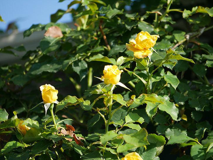 つるゴールドバニー(Gold Bunny Climbing)の2番花が増えてきた。ツルバラ。2020年-011.jpg
