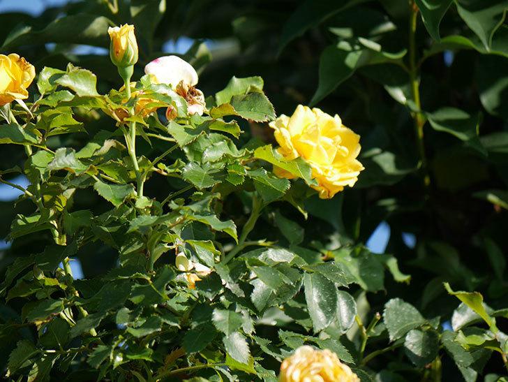つるゴールドバニー(Gold Bunny Climbing)の2番花が増えてきた。ツルバラ。2020年-012.jpg