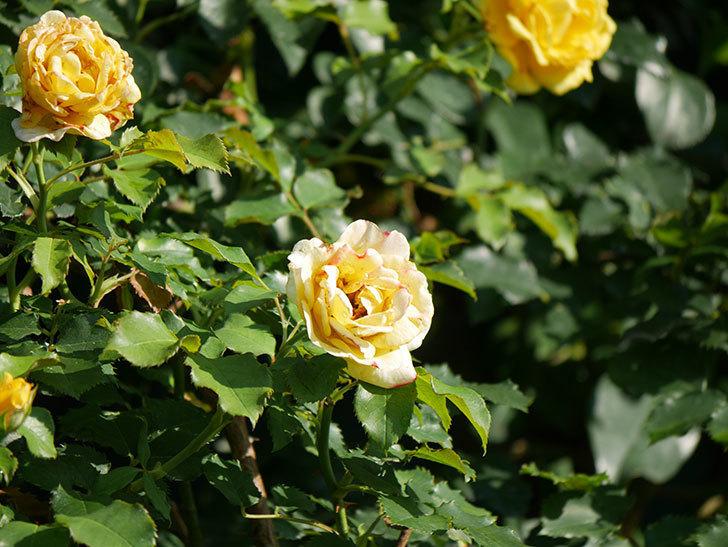 つるゴールドバニー(Gold Bunny Climbing)の2番花が増えてきた。ツルバラ。2020年-013.jpg