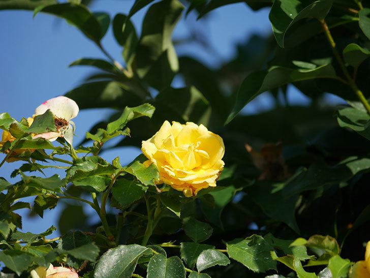 つるゴールドバニー(Gold Bunny Climbing)の2番花が増えてきた。ツルバラ。2020年-017.jpg