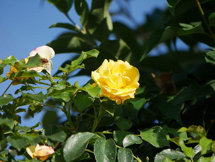 つるゴールドバニー(Gold Bunny Climbing)の2番花が増えてきた。ツルバラ。2020年-018.jpg