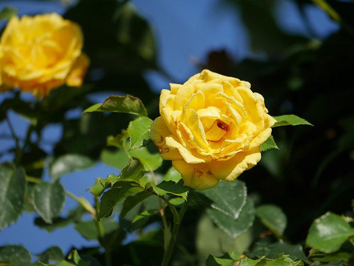 つるゴールドバニー(Gold Bunny Climbing)の2番花が増えてきた。ツルバラ。2020年-019.jpg