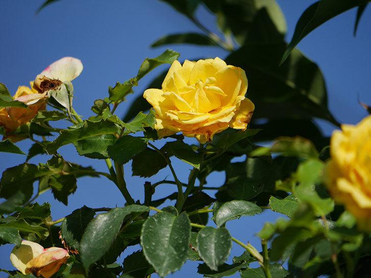 つるゴールドバニー(Gold Bunny Climbing)の2番花が増えてきた。ツルバラ。2020年-020.jpg