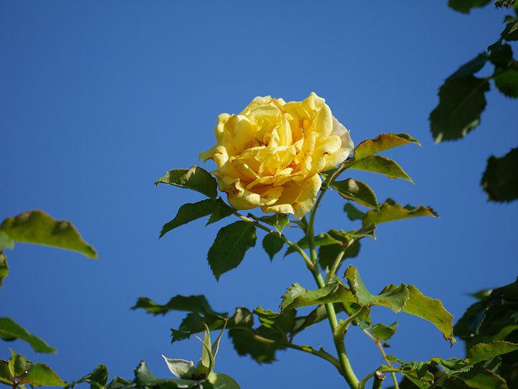 つるゴールドバニー(Gold Bunny Climbing)の2番花が増えてきた。ツルバラ。2020年-021.jpg