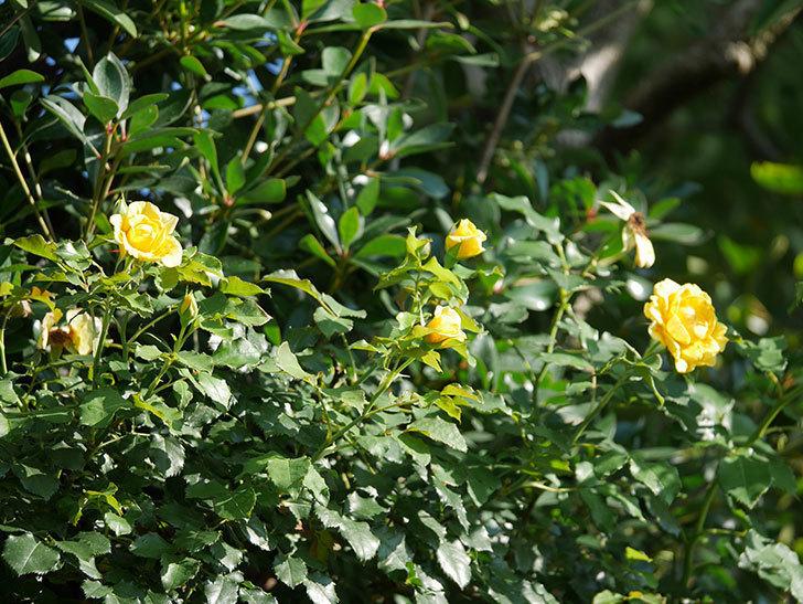 つるゴールドバニー(Gold Bunny Climbing)の2番花が増えてきた。ツルバラ。2020年-022.jpg