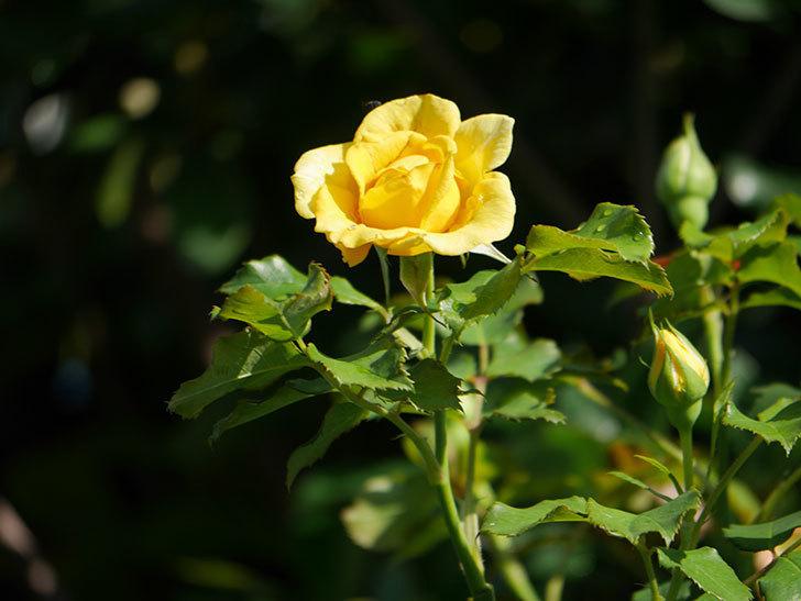つるゴールドバニー(Gold Bunny Climbing)の2番花が増えてきた。ツルバラ。2020年-023.jpg