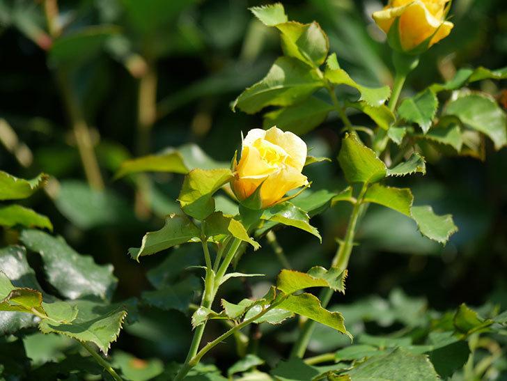 つるゴールドバニー(Gold Bunny Climbing)の2番花が増えてきた。ツルバラ。2020年-024.jpg