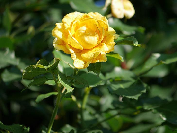 つるゴールドバニー(Gold Bunny Climbing)の2番花が増えてきた。ツルバラ。2020年-025.jpg
