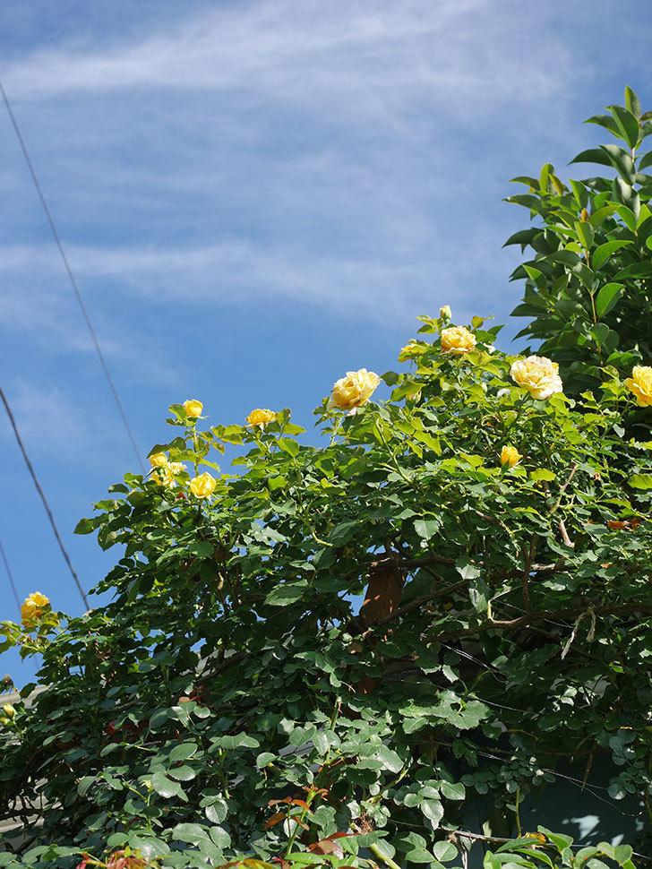 つるゴールドバニー(Gold Bunny Climbing)の2番花が増えてきた。ツルバラ。2020年-026.jpg