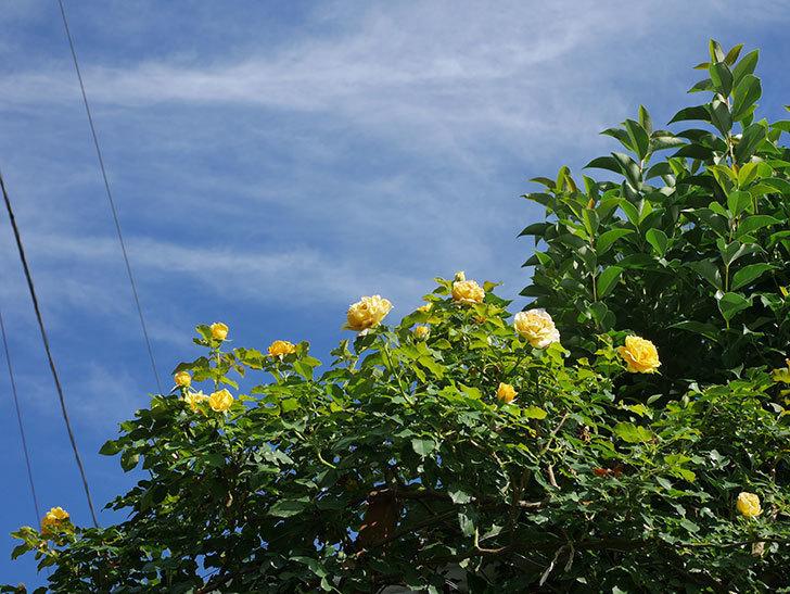 つるゴールドバニー(Gold Bunny Climbing)の2番花が増えてきた。ツルバラ。2020年-027.jpg