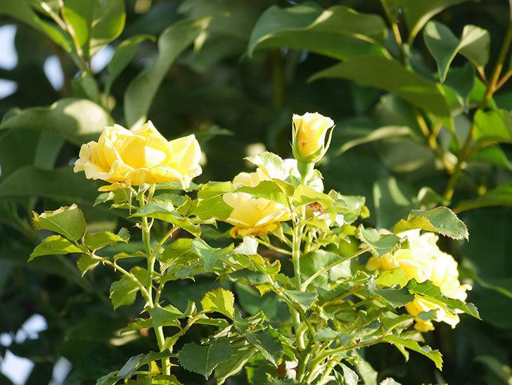 つるゴールドバニー(Gold Bunny Climbing)の2番花が増えてきた。ツルバラ。2020年-028.jpg