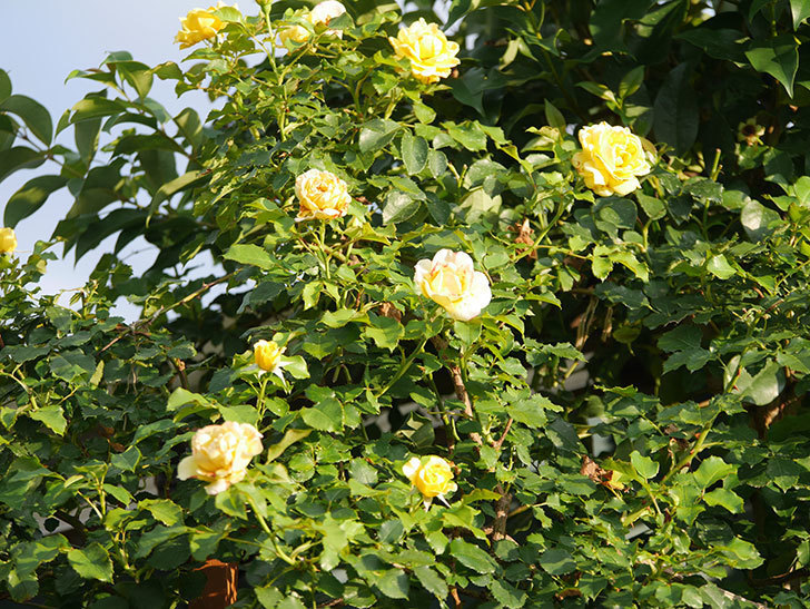 つるゴールドバニー(Gold Bunny Climbing)の2番花が増えてきた。ツルバラ。2020年-029.jpg