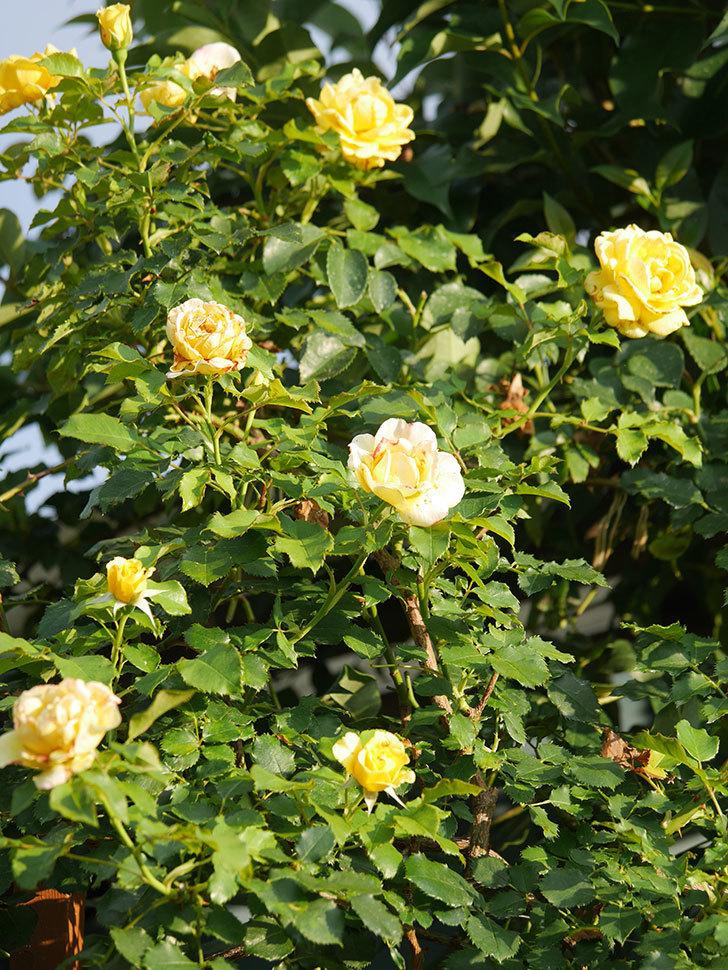 つるゴールドバニー(Gold Bunny Climbing)の2番花が増えてきた。ツルバラ。2020年-030.jpg