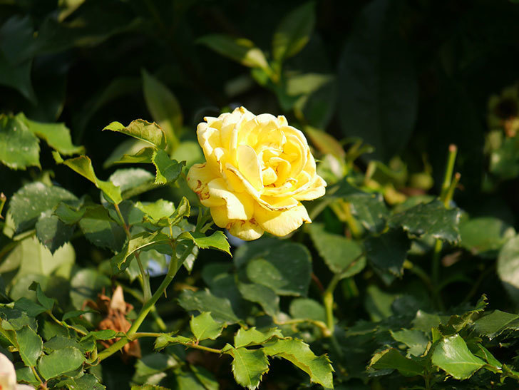 つるゴールドバニー(Gold Bunny Climbing)の2番花が増えてきた。ツルバラ。2020年-031.jpg