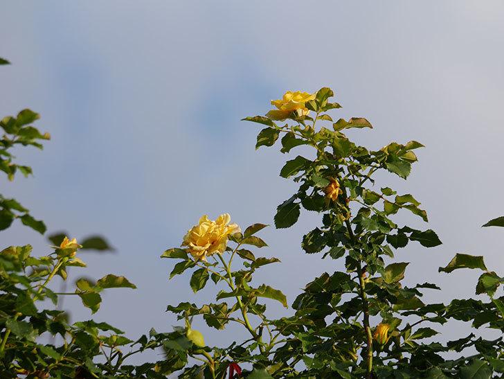 つるゴールドバニー(Gold Bunny Climbing)の2番花が増えてきた。ツルバラ。2020年-032.jpg
