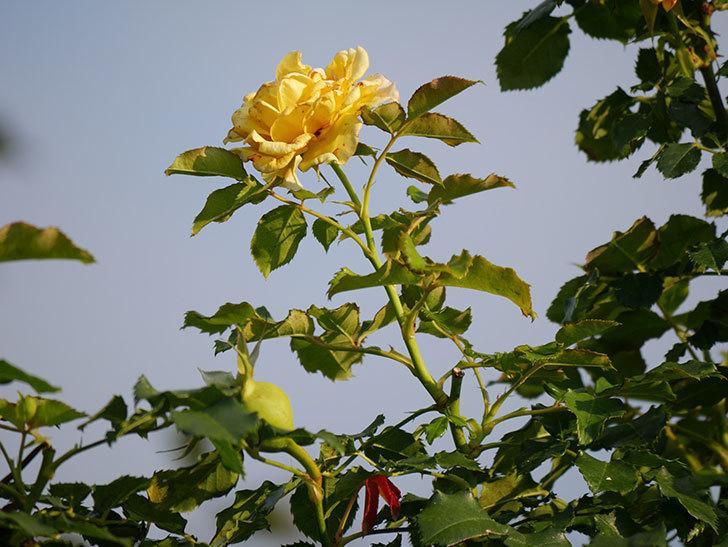 つるゴールドバニー(Gold Bunny Climbing)の2番花が増えてきた。ツルバラ。2020年-033.jpg