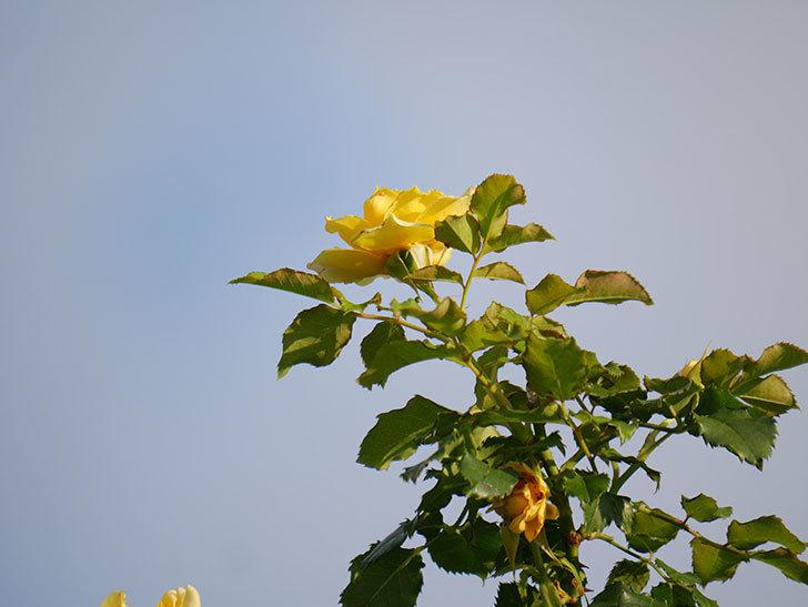 つるゴールドバニー(Gold Bunny Climbing)の2番花が増えてきた。ツルバラ。2020年-034.jpg